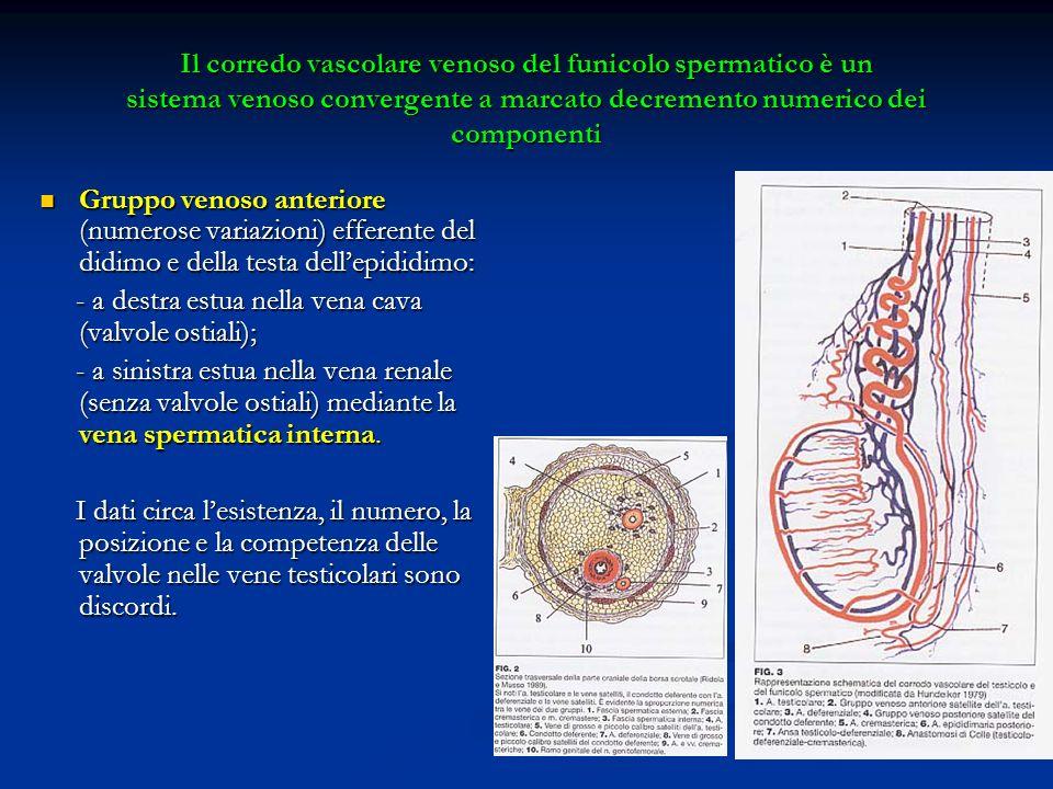 Il corredo vascolare venoso del funicolo spermatico è un sistema venoso convergente a marcato decremento numerico dei componenti