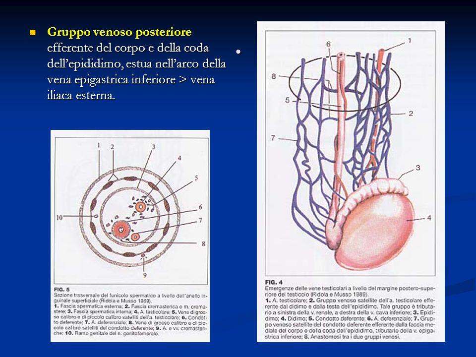 . Gruppo venoso posteriore efferente del corpo e della coda dell'epididimo, estua nell'arco della vena epigastrica inferiore > vena iliaca esterna.
