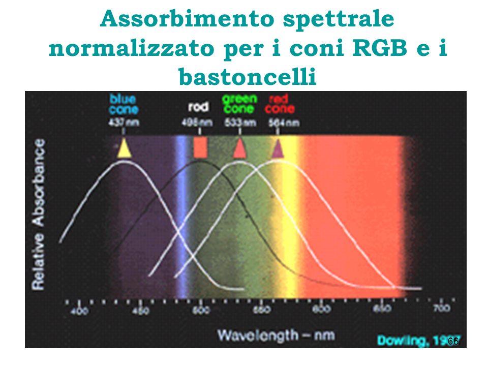 Assorbimento spettrale normalizzato per i coni RGB e i bastoncelli