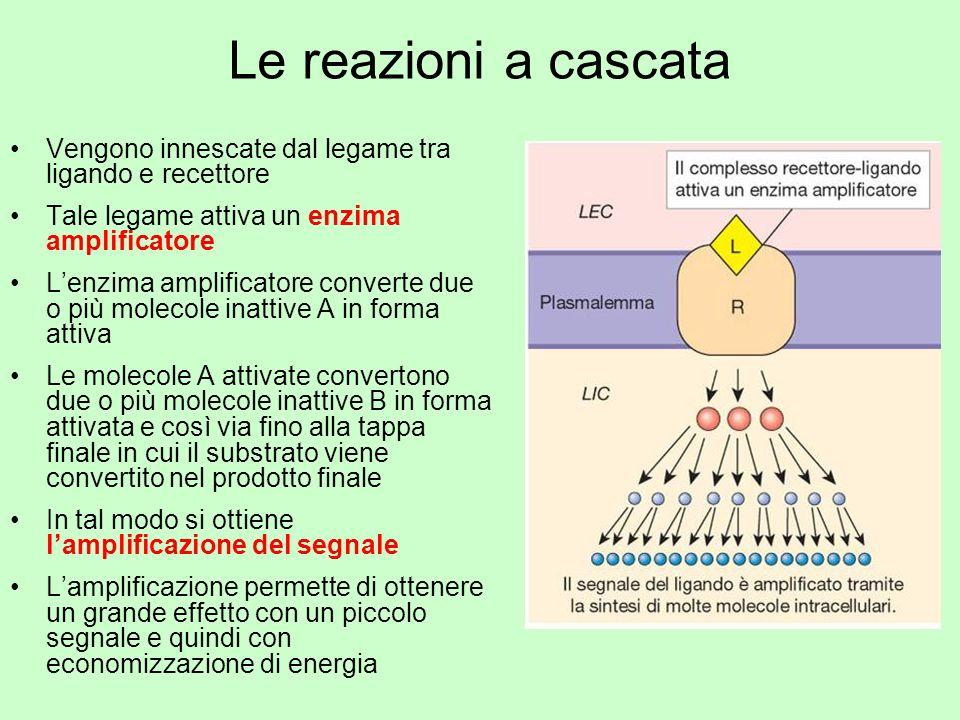 Le reazioni a cascata Vengono innescate dal legame tra ligando e recettore. Tale legame attiva un enzima amplificatore.