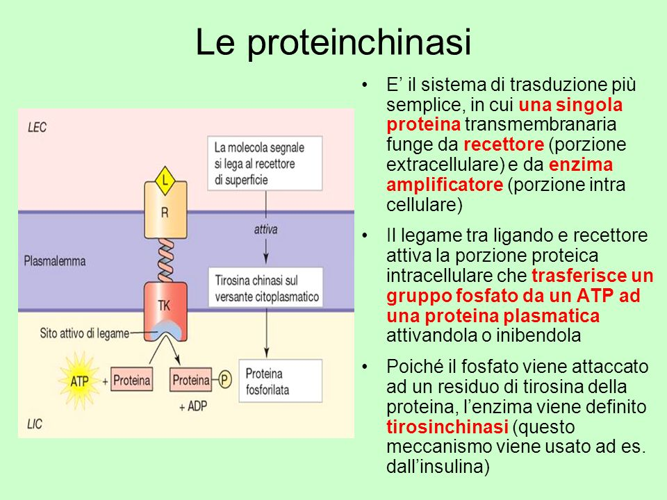 Le proteinchinasi