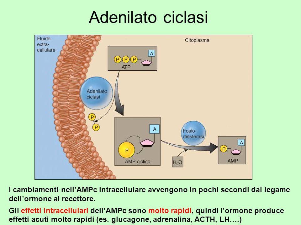Adenilato ciclasi I cambiamenti nell'AMPc intracellulare avvengono in pochi secondi dal legame dell'ormone al recettore.