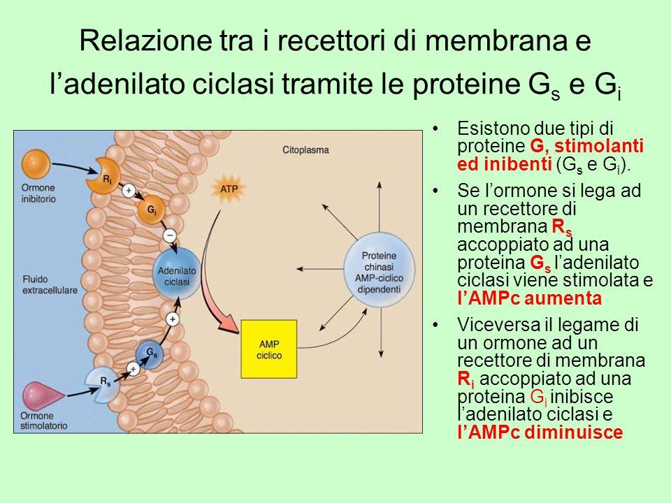 Relazione tra i recettori di membrana e l'adenilato ciclasi tramite le proteine Gs e Gi