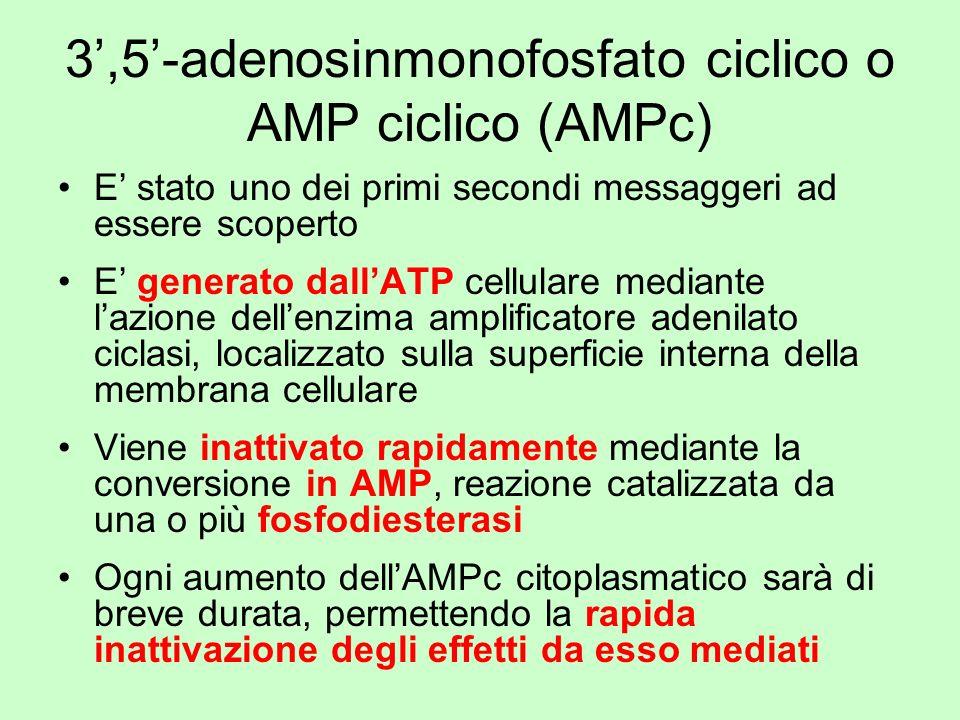 3',5'-adenosinmonofosfato ciclico o AMP ciclico (AMPc)