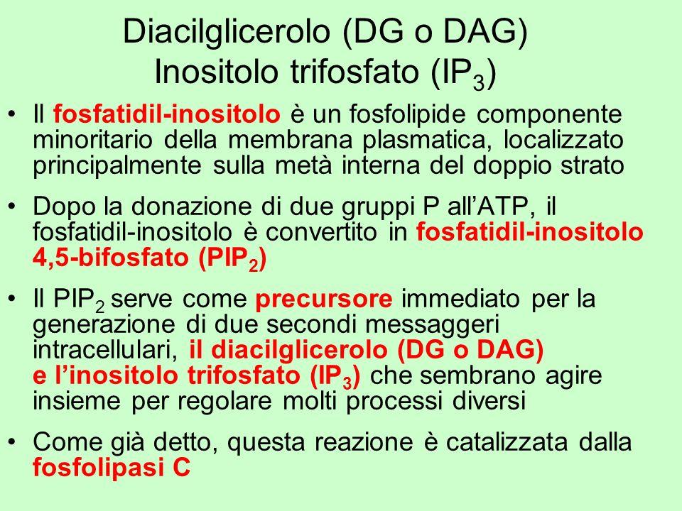 Diacilglicerolo (DG o DAG) Inositolo trifosfato (IP3)