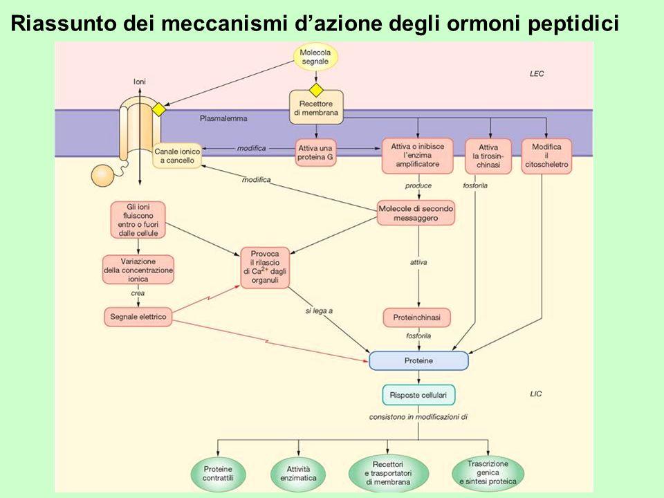 Riassunto dei meccanismi d'azione degli ormoni peptidici
