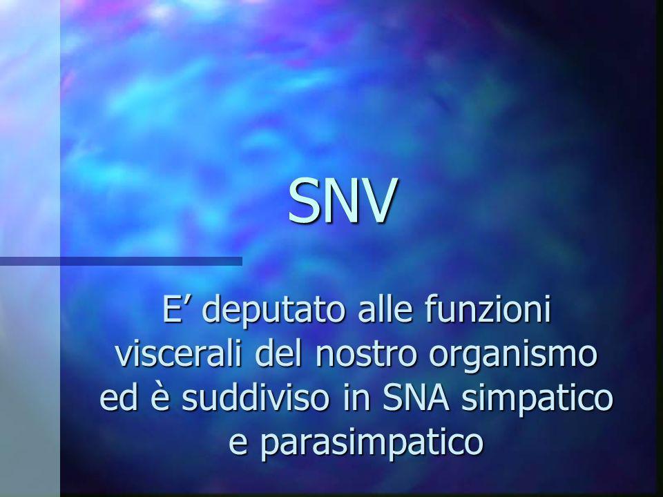 SNV E' deputato alle funzioni viscerali del nostro organismo ed è suddiviso in SNA simpatico e parasimpatico.