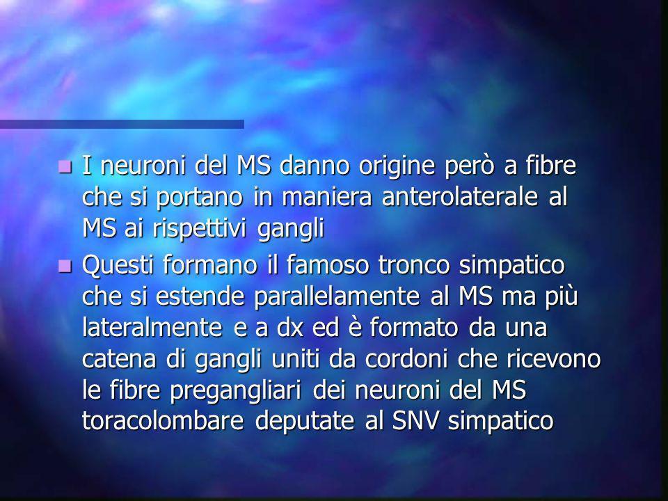 I neuroni del MS danno origine però a fibre che si portano in maniera anterolaterale al MS ai rispettivi gangli
