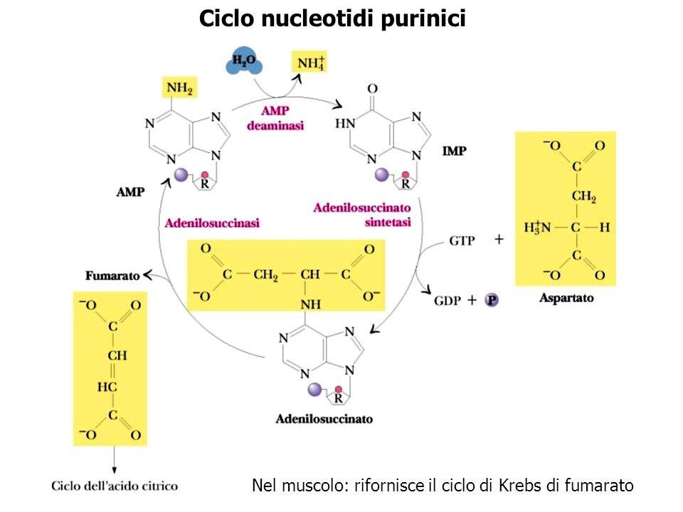 Ciclo nucleotidi purinici