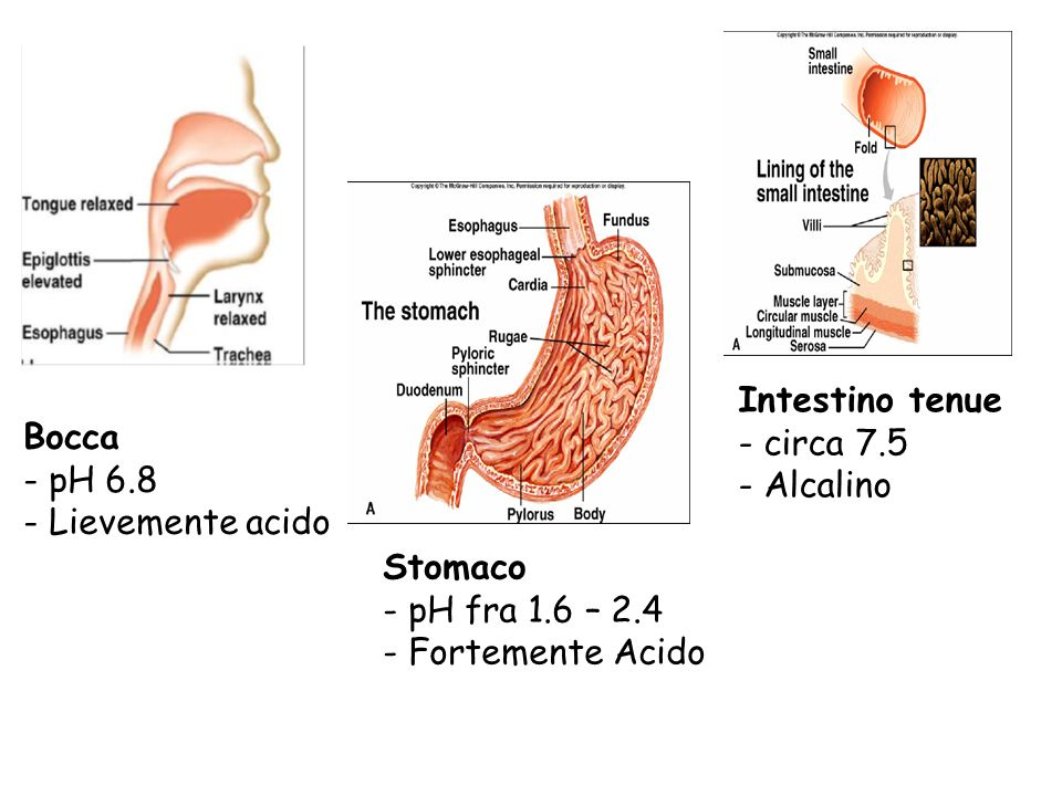Intestino tenue - circa 7.5. - Alcalino. Bocca. - pH 6.8. - Lievemente acido. Stomaco. - pH fra 1.6 – 2.4.