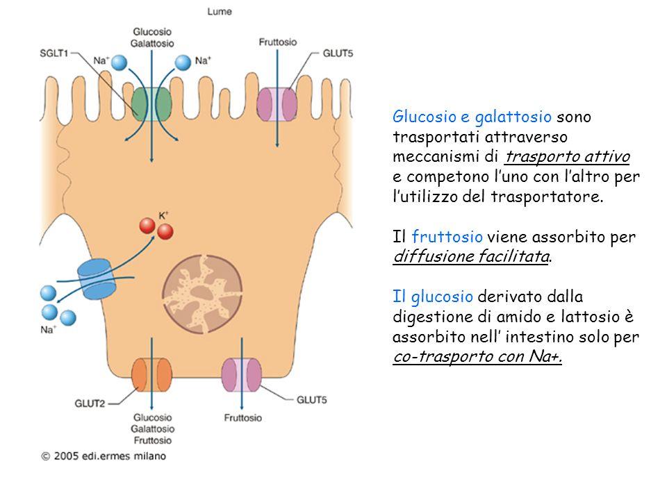 Glucosio e galattosio sono trasportati attraverso meccanismi di trasporto attivo e competono l'uno con l'altro per l'utilizzo del trasportatore.