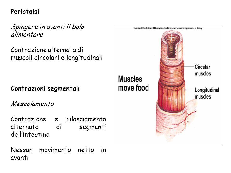 Peristalsi Spingere in avanti il bolo. alimentare. Contrazione alternata di. muscoli circolari e longitudinali.
