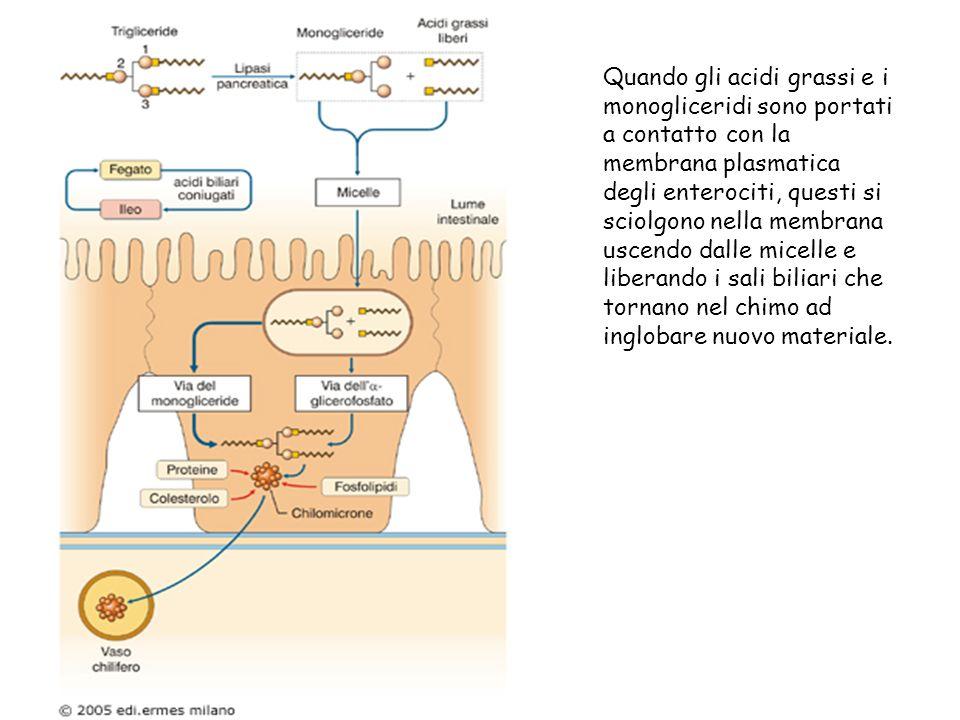 Quando gli acidi grassi e i monogliceridi sono portati a contatto con la membrana plasmatica degli enterociti, questi si sciolgono nella membrana uscendo dalle micelle e liberando i sali biliari che tornano nel chimo ad inglobare nuovo materiale.