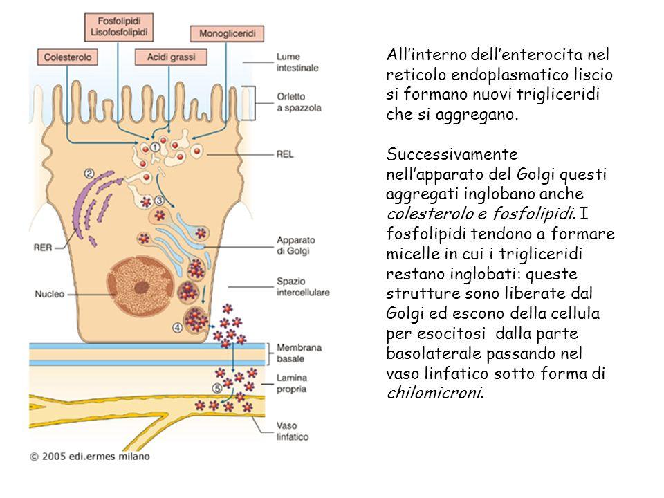 All'interno dell'enterocita nel reticolo endoplasmatico liscio si formano nuovi trigliceridi che si aggregano.