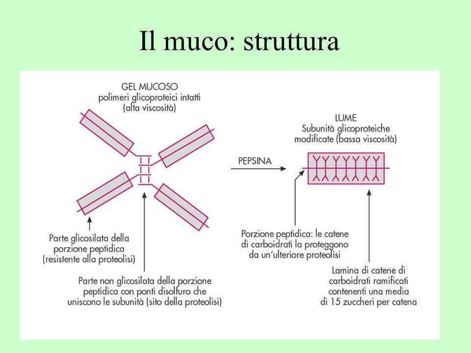 Il muco: struttura