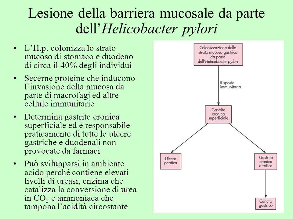 Lesione della barriera mucosale da parte dell'Helicobacter pylori
