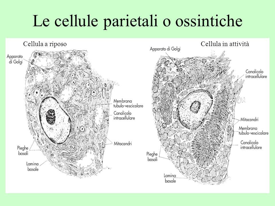 Le cellule parietali o ossintiche