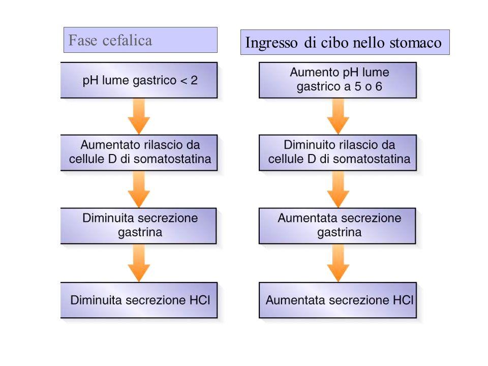 Fase cefalica Ingresso di cibo nello stomaco
