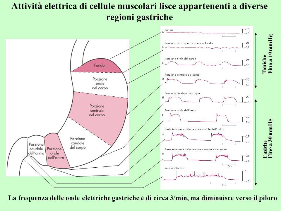 Attività elettrica di cellule muscolari lisce appartenenti a diverse regioni gastriche