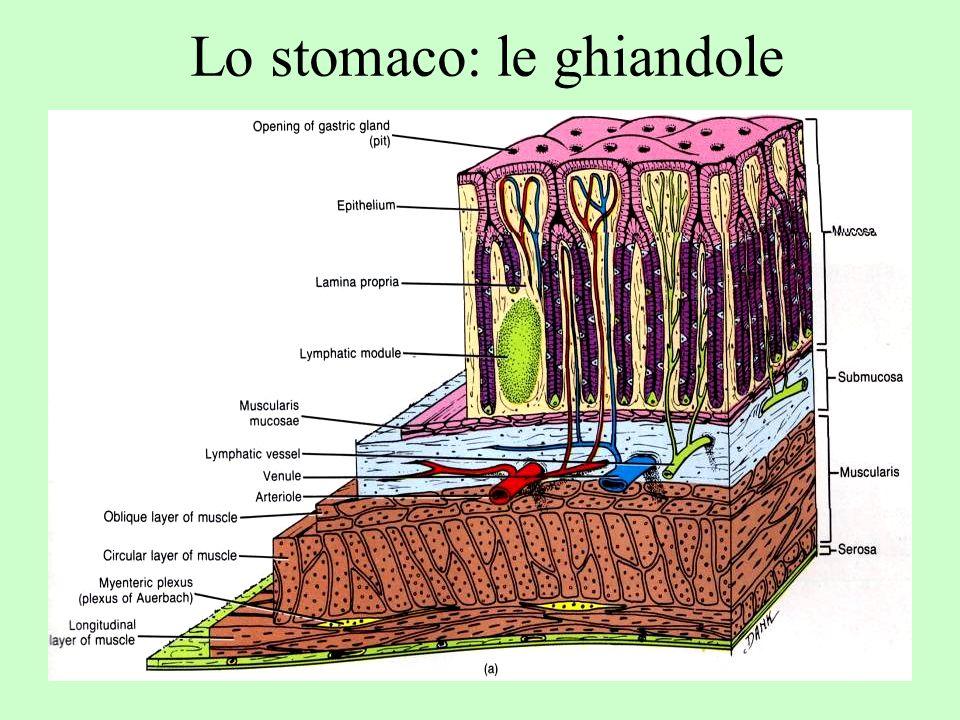 Lo stomaco: le ghiandole
