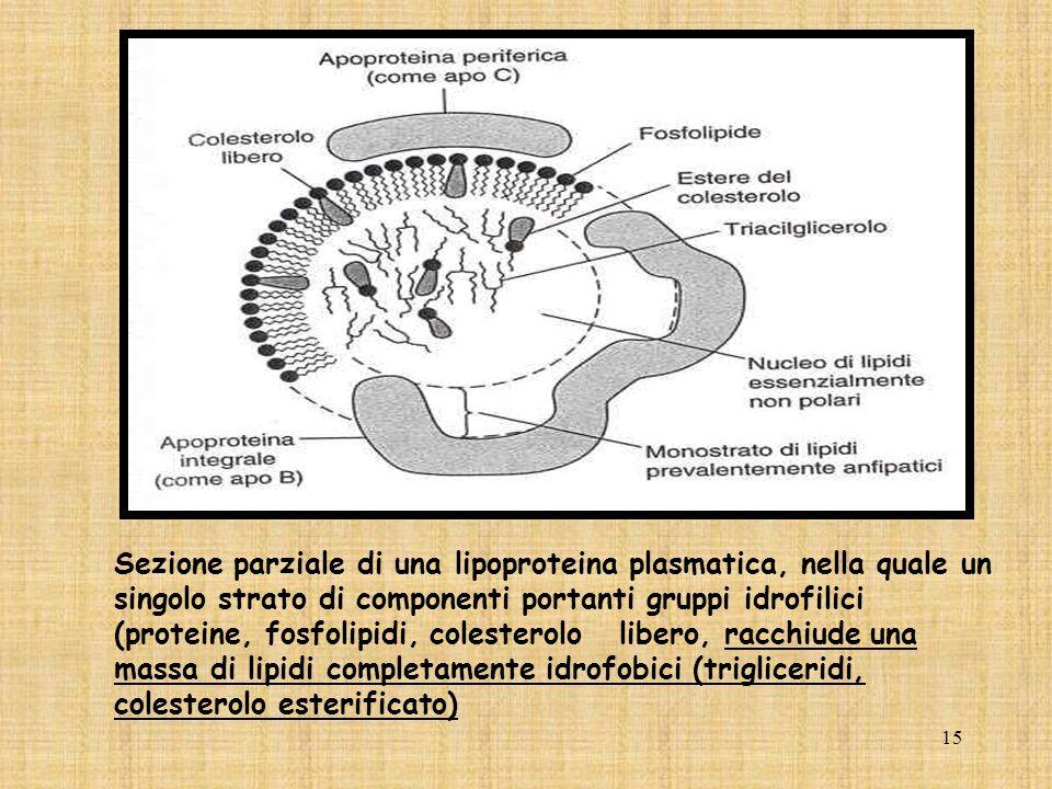 Sezione parziale di una lipoproteina plasmatica, nella quale un singolo strato di componenti portanti gruppi idrofilici (proteine, fosfolipidi, colesterolo libero, racchiude una massa di lipidi completamente idrofobici (trigliceridi, colesterolo esterificato)
