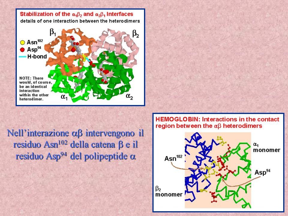 Nell'interazione ab intervengono il residuo Asn102 della catena b e il residuo Asp94 del polipeptide a
