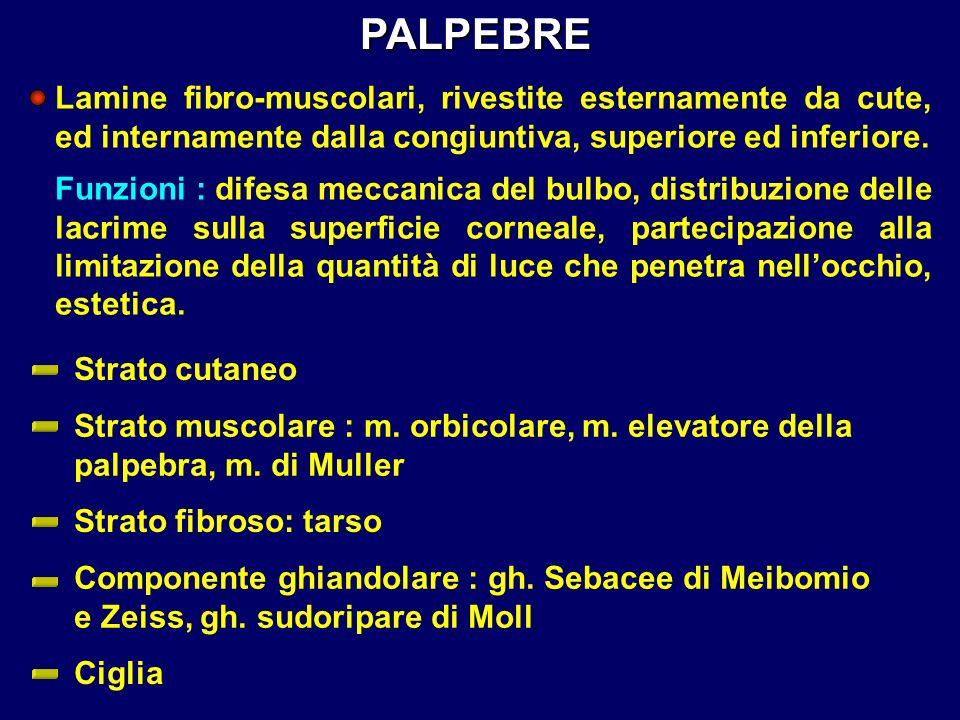 PALPEBRE Lamine fibro-muscolari, rivestite esternamente da cute, ed internamente dalla congiuntiva, superiore ed inferiore.