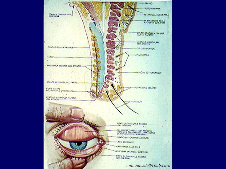 Anatomia della palpebra
