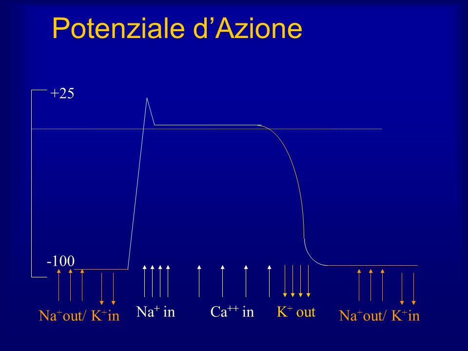 Potenziale d'Azione +25 -100 Na+ in Ca++ in K+ out Na+out/ K+in