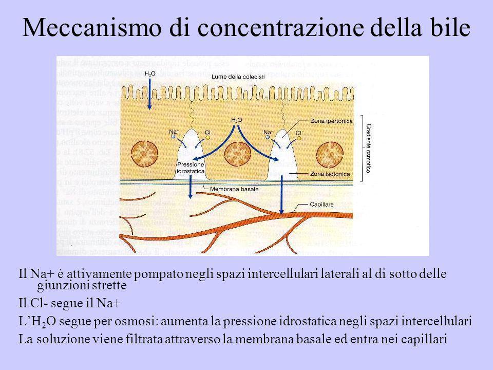 Meccanismo di concentrazione della bile