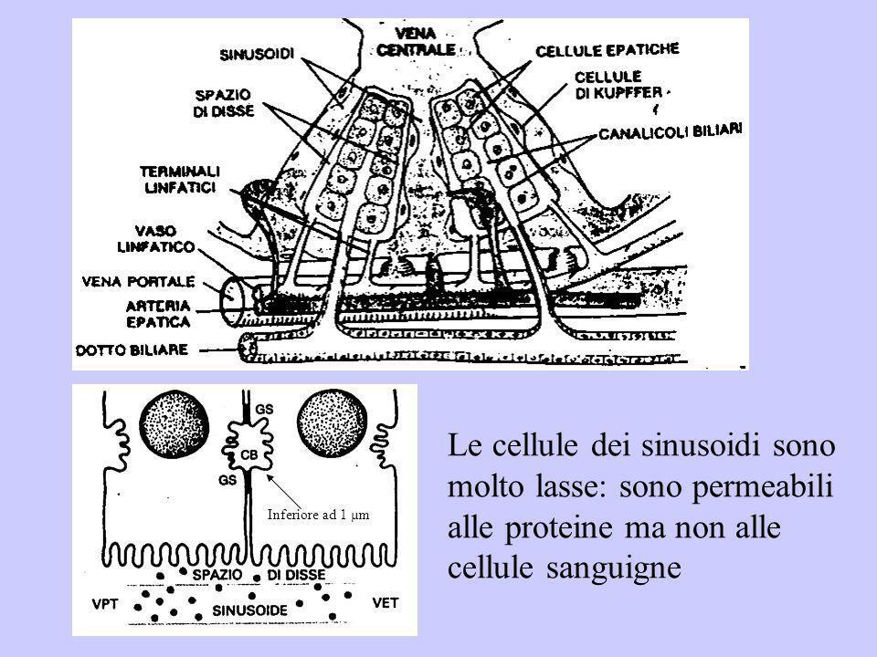 Le cellule dei sinusoidi sono molto lasse: sono permeabili alle proteine ma non alle cellule sanguigne