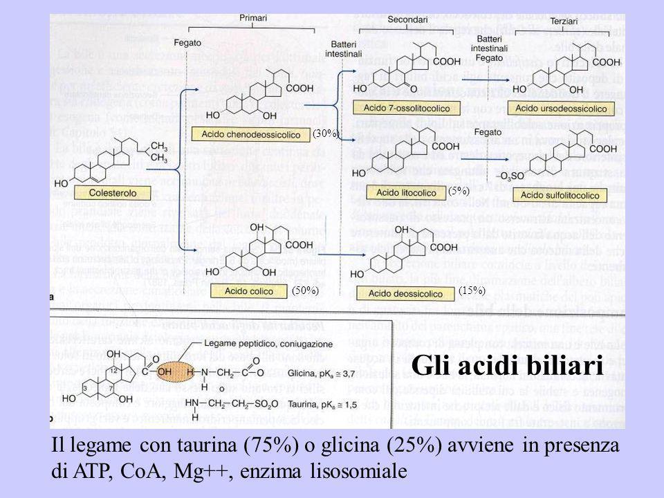 (30%) (5%) (50%) (15%) Gli acidi biliari.