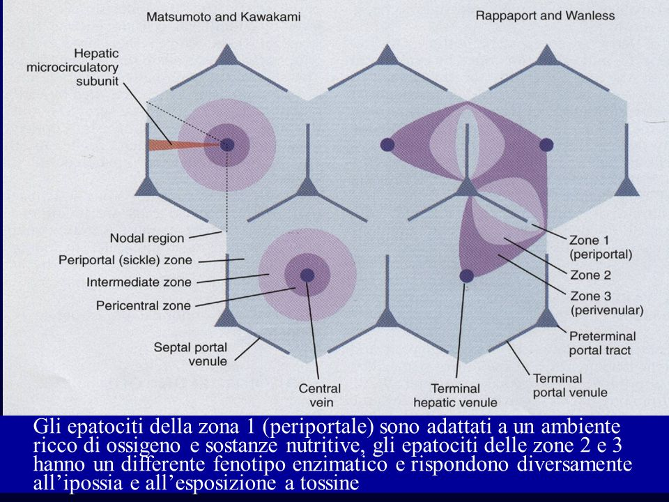 Gli epatociti della zona 1 (periportale) sono adattati a un ambiente