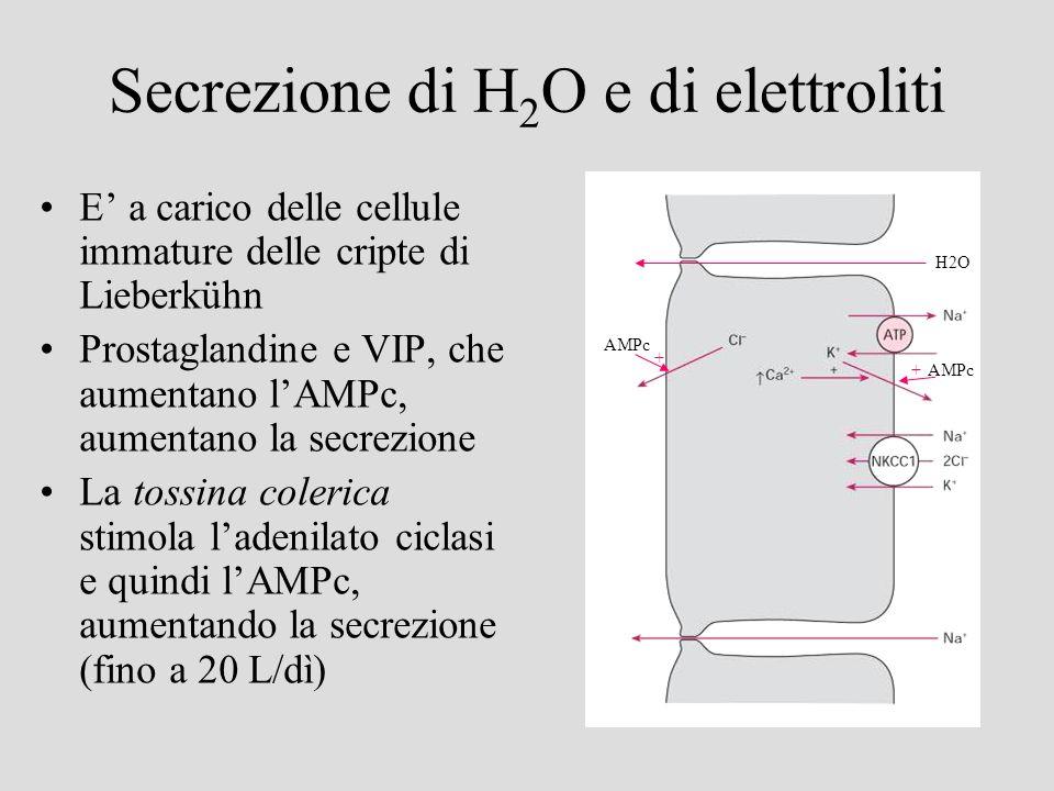 Secrezione di H2O e di elettroliti