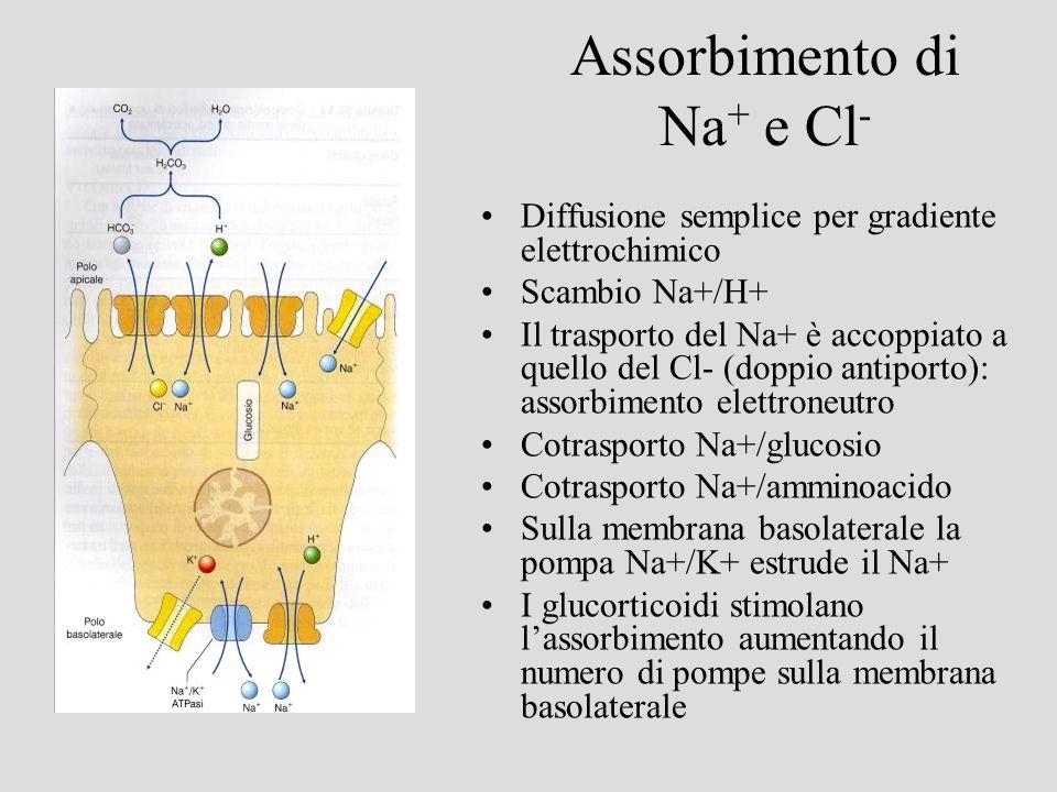 Assorbimento di Na+ e Cl-