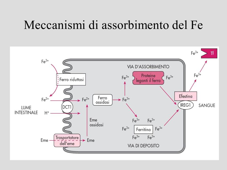 Meccanismi di assorbimento del Fe