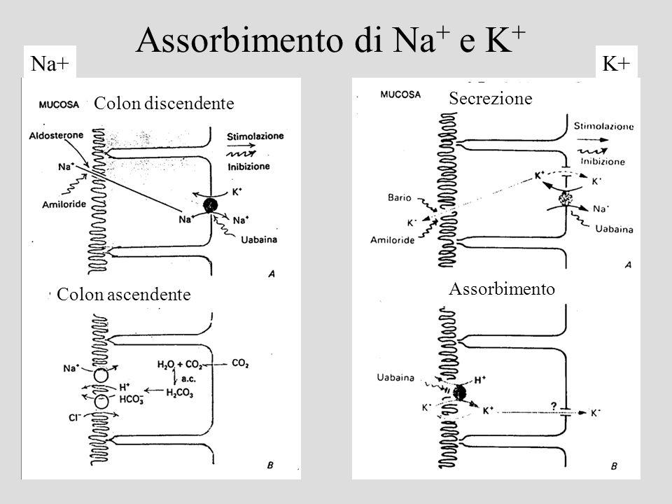 Assorbimento di Na+ e K+