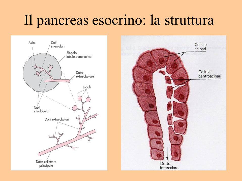 Il pancreas esocrino: la struttura