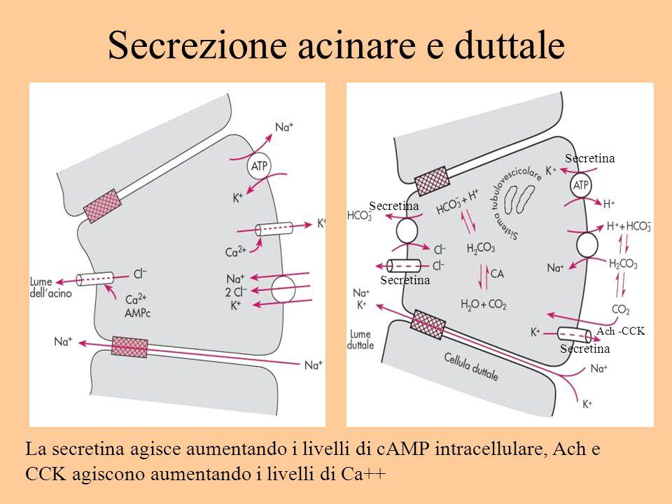 Secrezione acinare e duttale