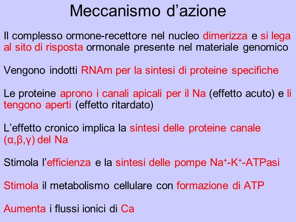 Meccanismo d'azione Il complesso ormone-recettore nel nucleo dimerizza e si lega al sito di risposta ormonale presente nel materiale genomico.