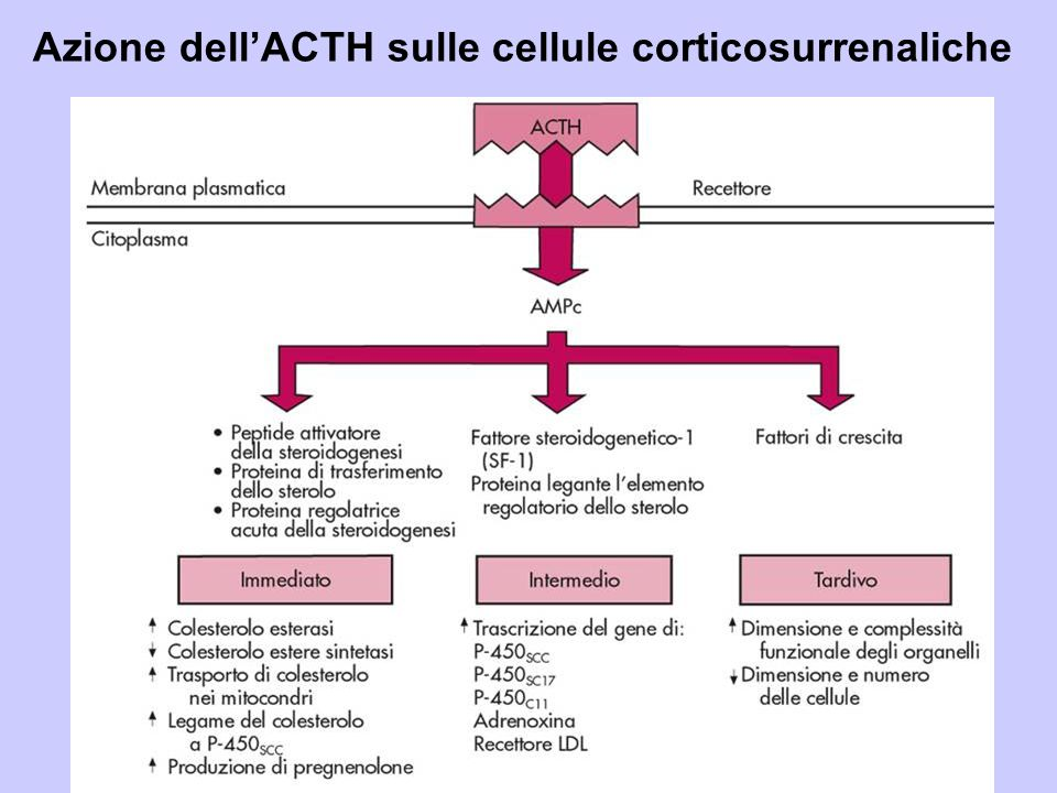 Azione dell'ACTH sulle cellule corticosurrenaliche