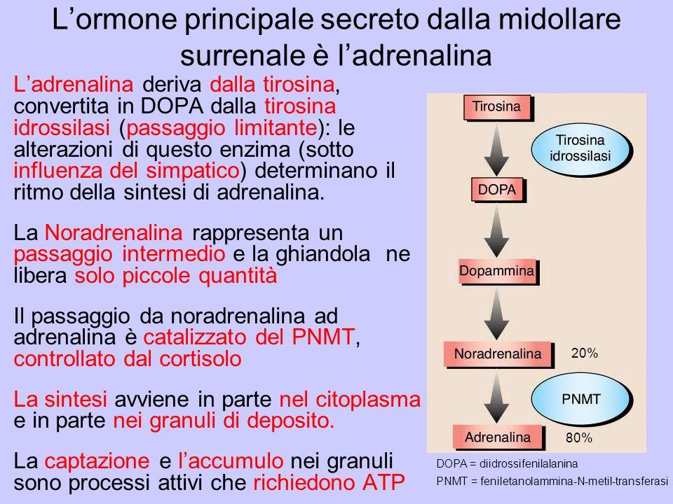 L'ormone principale secreto dalla midollare surrenale è l'adrenalina