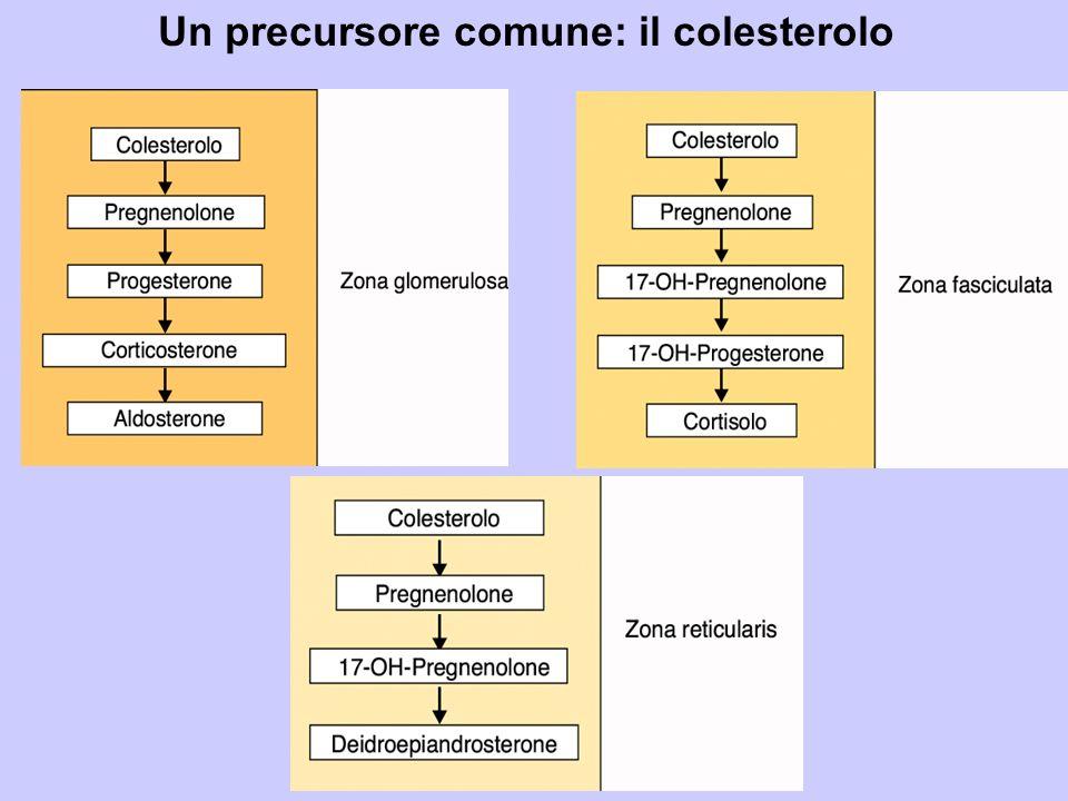 Un precursore comune: il colesterolo