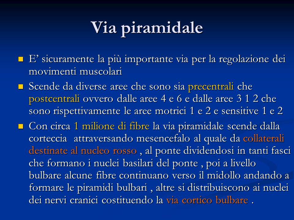 Via piramidale E' sicuramente la più importante via per la regolazione dei movimenti muscolari.