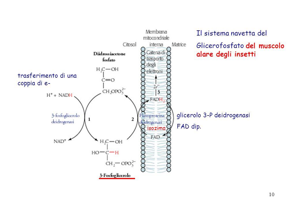 Glicerofosfato del muscolo alare degli insetti