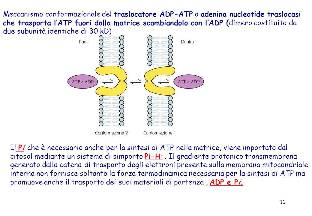 Meccanismo conformazionale del traslocatore ADP-ATP o adenina nucleotide traslocasi che trasporta l'ATP fuori dalla matrice scambiandolo con l'ADP (dimero costituito da due subunità identiche di 30 kD)
