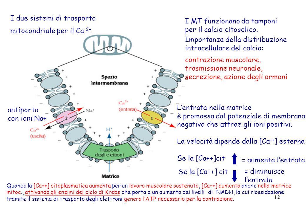I due sistemi di trasporto mitocondriale per il Ca 2+