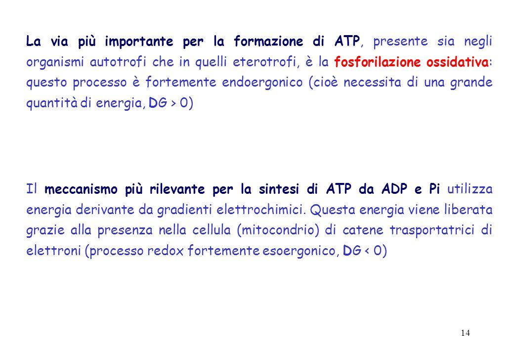 La via più importante per la formazione di ATP, presente sia negli organismi autotrofi che in quelli eterotrofi, è la fosforilazione ossidativa: questo processo è fortemente endoergonico (cioè necessita di una grande quantità di energia, DG > 0)