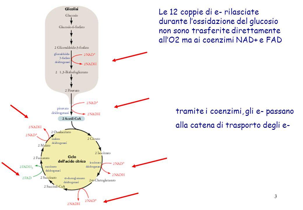 Le 12 coppie di e- rilasciate durante l'ossidazione del glucosio non sono trasferite direttamente all'O2 ma ai coenzimi NAD+ e FAD
