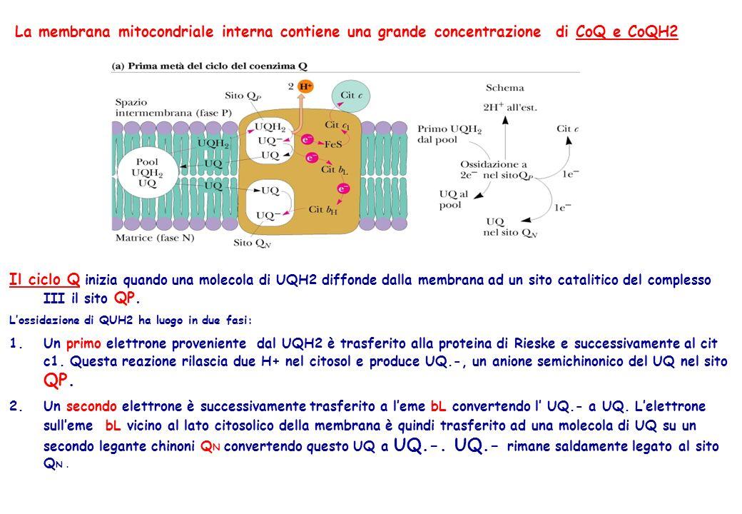 La membrana mitocondriale interna contiene una grande concentrazione di CoQ e CoQH2